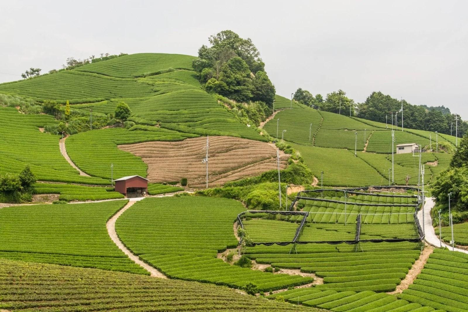 plantations the wazuka - japon