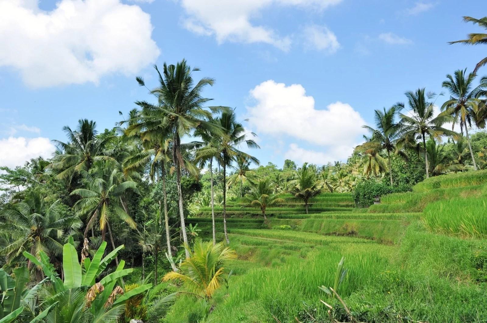 rizière de Bali près d'Ubud - indonesie