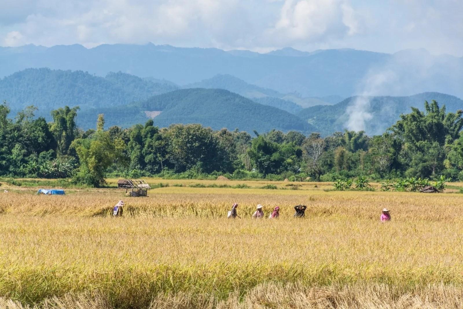 recolte riz luang namtha - laos