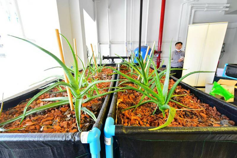 Faculty of Dentistry, Chulalongkorn University to cultivate Aloe Vera plants for dental research