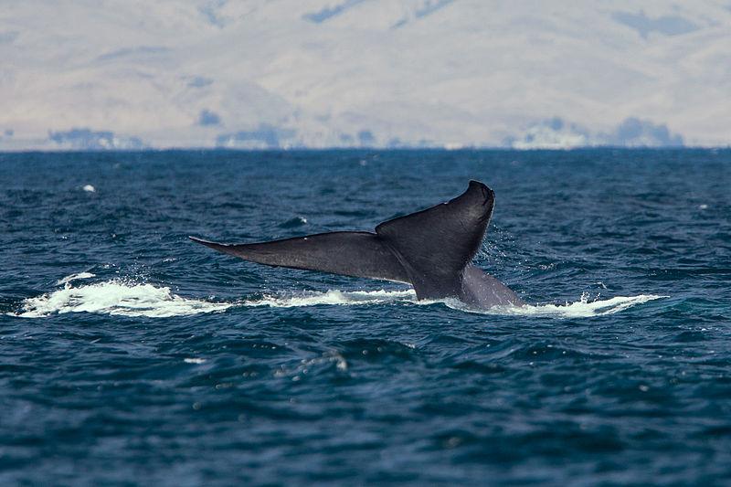 Blue Whale Tail