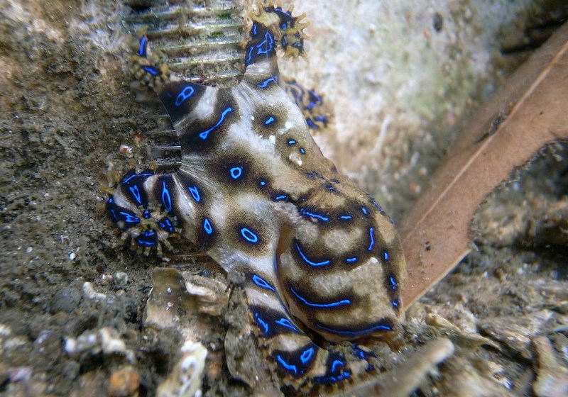 Dept. of Fisheries warns of blue-ringed octopus