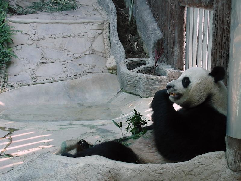 Giant Panda Chuang Chuang at Chiang Mai Zoo