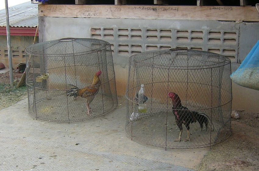 Thai cocks in separate cages