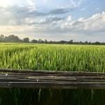 A corn field in Thailand