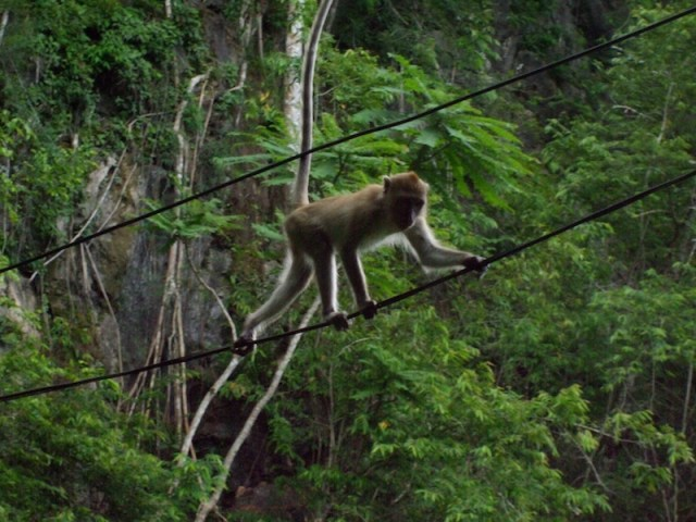 Phuket monkeys to be relocated away from human habitats