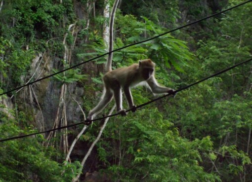 Macaque walking on a High-voltage cable