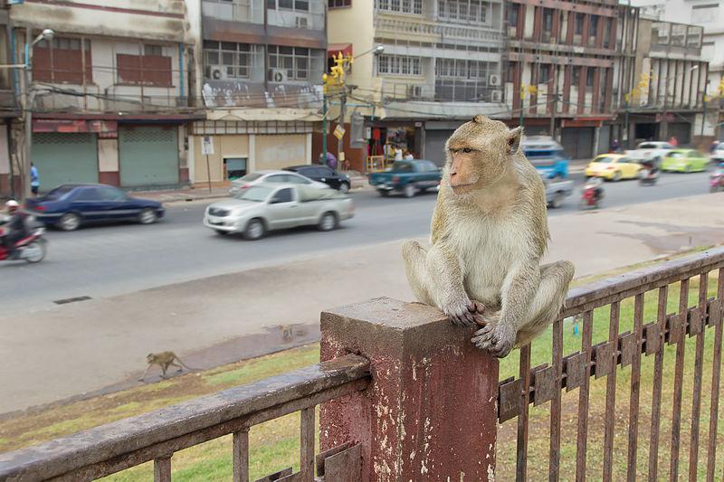 Monkey near a road in Lopburi