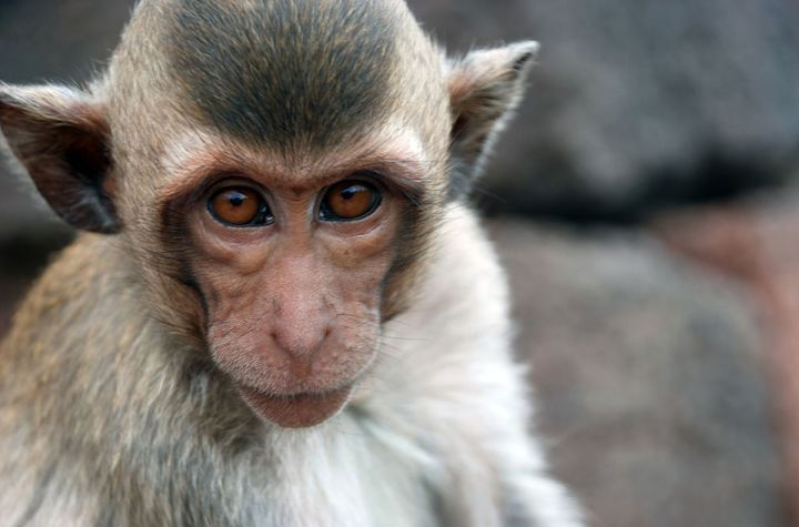 Crab-eating macaque in Lopburi