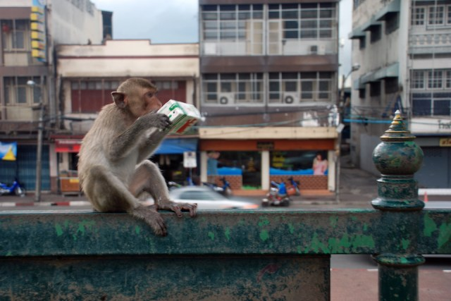Monkeys to be relocated to stop them harassing humans