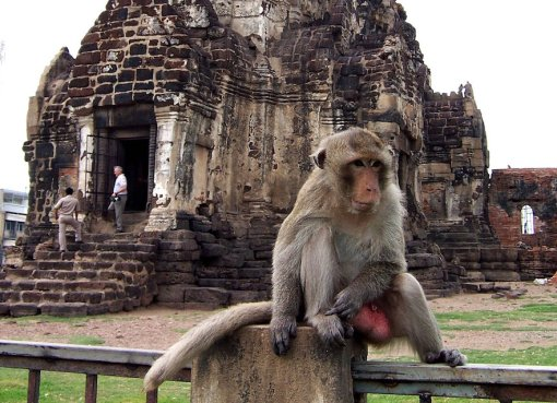 Monkey Hanging Out in Lopburi.
