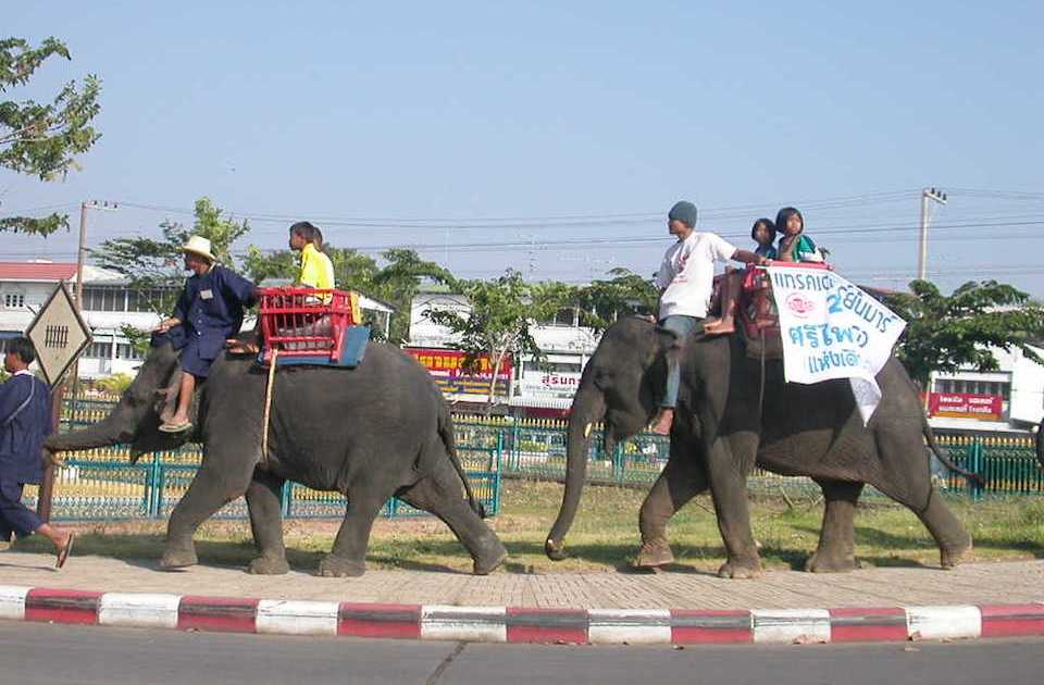Elephants in Surin, Thailand