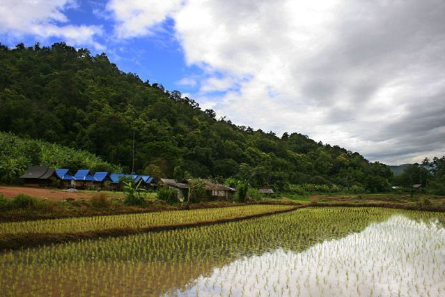 Heavy rains affect rice fields in northeast