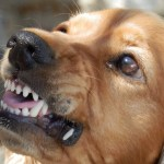 Angry dog with rabies