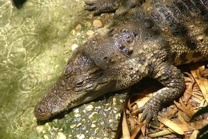 Possible crocodile sightings closes Phuket beaches