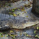 Crocodile in a pond in Wat Chakrawat, Samphanthawong District, Bangkok