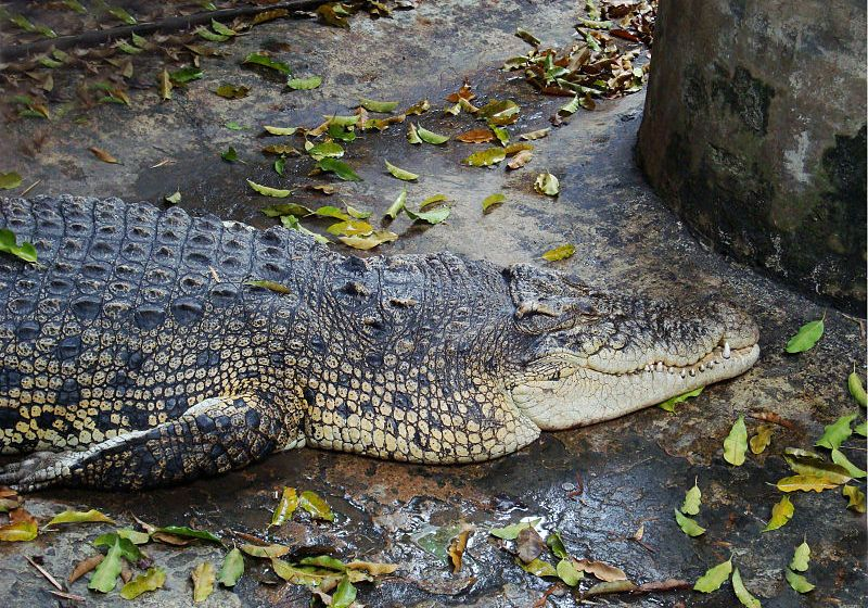 Strict Control Ordered on Crocodile Farms to Stop Escape