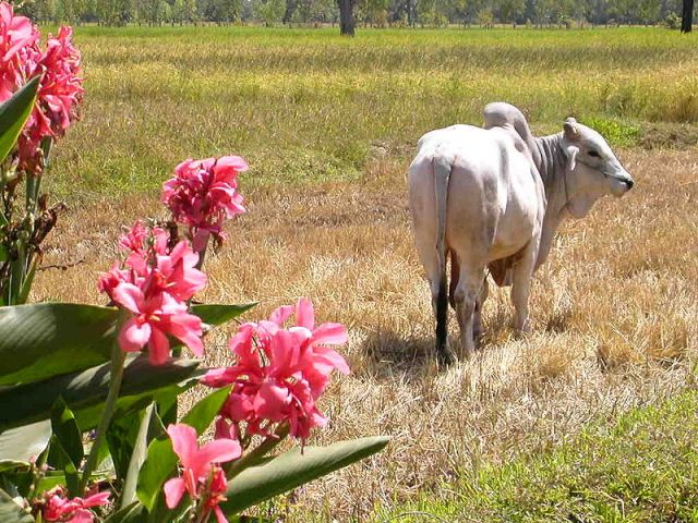 Suphan Buri cattle farmer, four cows vanish