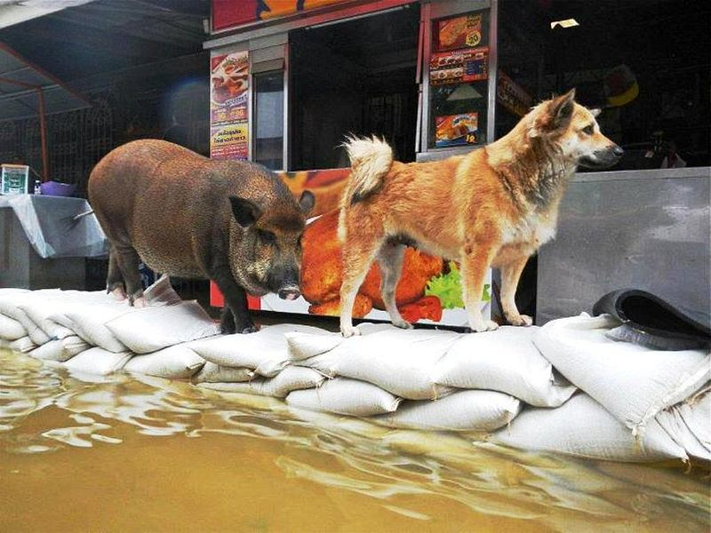 Animals on a flooded area in Thailand