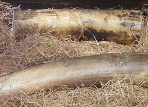 Elephant tusks, ivory