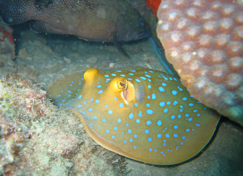 Blue spotted stingray in Koh Tao