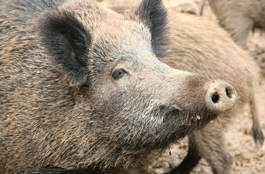 Wild boars or wild pigs