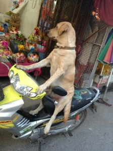 Dogs in Thailand: Meet Deputy Dog
