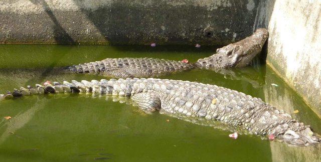 crocodile pond at wat chakrawat