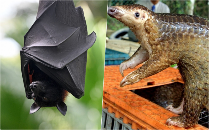Are 'bats and pangolins' the source of the new 2019 coronavirus?