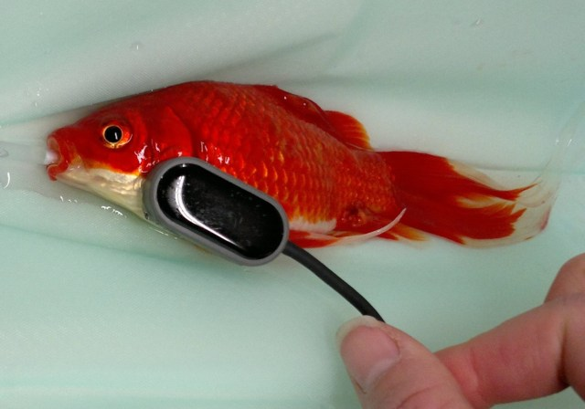 fish2 - The Constipated Goldfish and the CAT Doppler go Viral