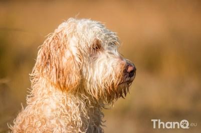 Quibus (Labradoodle) - Hondenfoto's bij De Heide, Bergen op Zoom