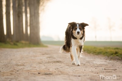 Border collie Jindi in Goese Polder Park
