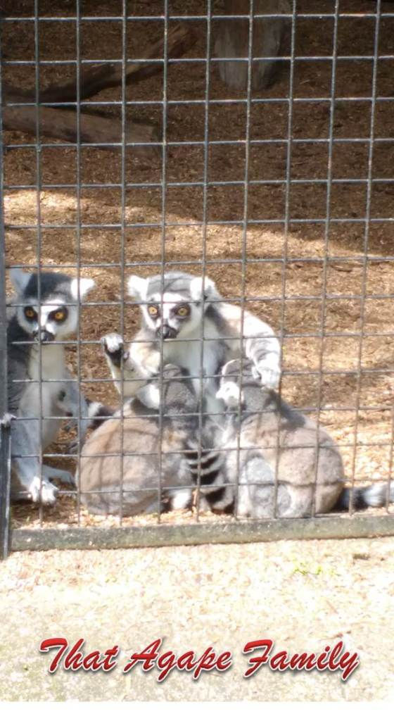 Breastfeeding Lemur