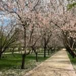 Onde ver amendoeiras em flor em Madri?