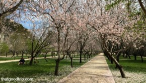 Amendoeiras em flor Madrid