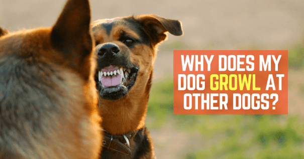 Dog growls at other dogs