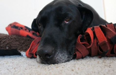 Black lab mix sleeping on a dog bed
