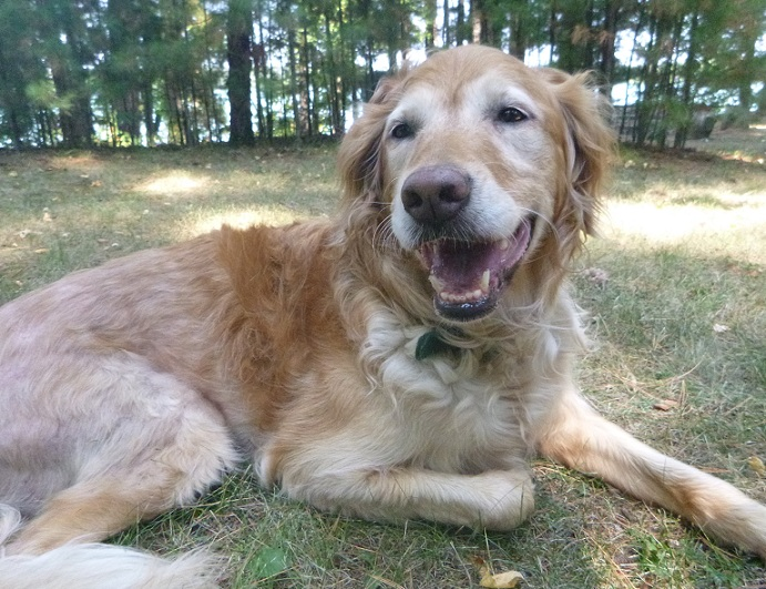 Elsie the golden retriever lying in the grass - affordable raw dog food