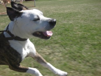 Running long distance with a dog - Boy the pitull