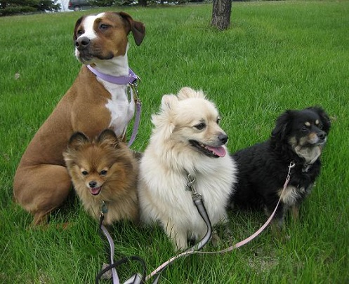 Walking a pitbull mix and three small dogs