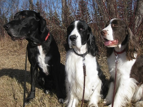 Walking a Lab and two springers