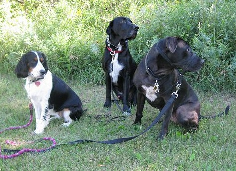 Walking a springer and two Lab mixes