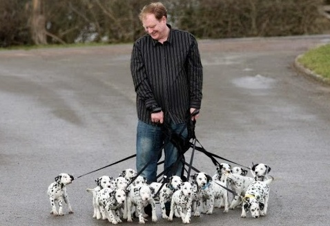 Walking 15 dalmatian puppies