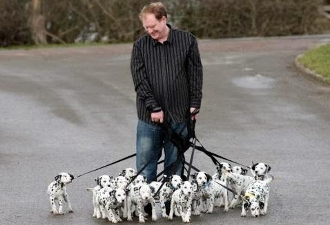 Walking 15 dalmatian puppies
