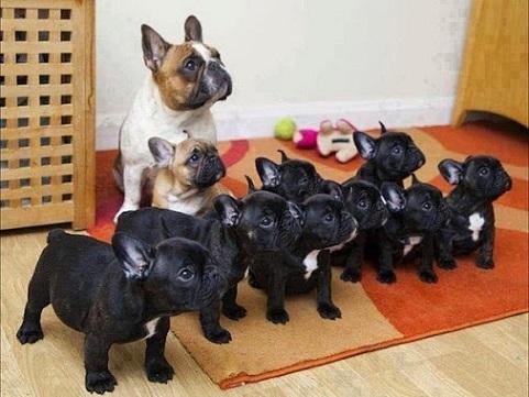 Black french bulldog puppies