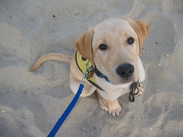 Derby the Lab in training to be a guide dog