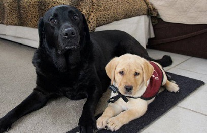 """Stetson the Lab """"career change"""" dog and Adelle, puppy in training"""