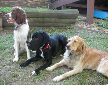 Sophie the springer, Ace the Lab mix and Elsie the golden