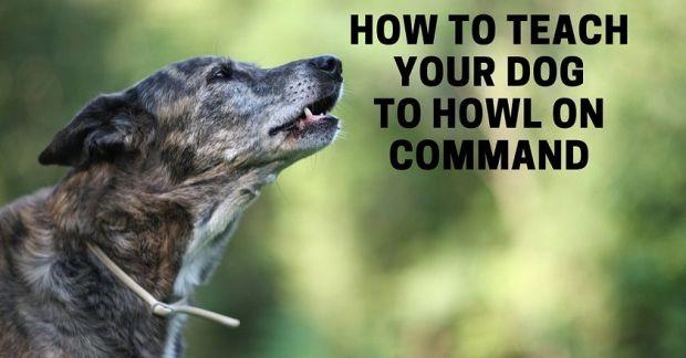 How to teach a dog to howl
