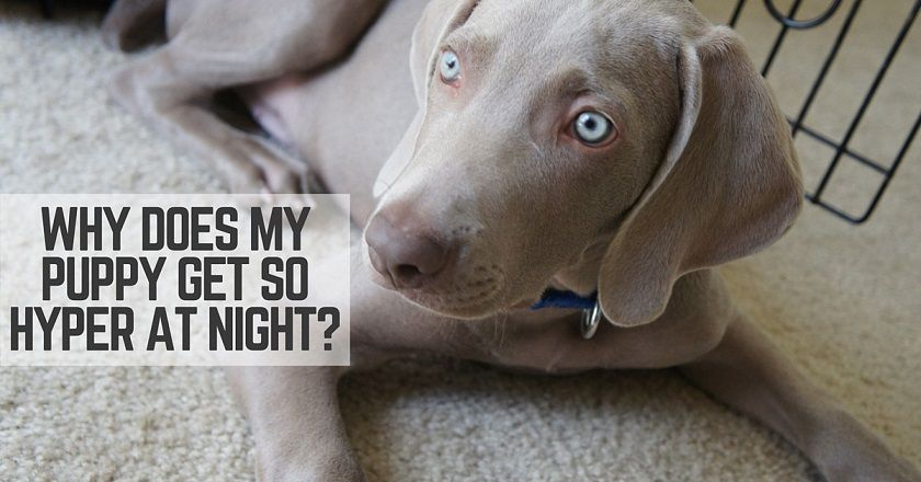 Why does my puppy go crazy in the evenings?